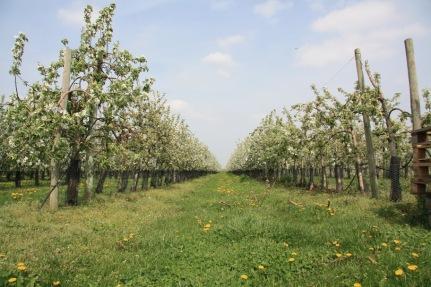 Le verger collection de pommes du val de Loire à Baule dans le Loiret, entre Beaugency et Meung sur Loire
