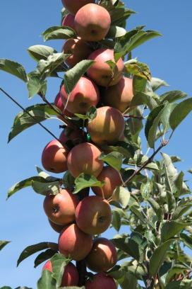 pommes val de Loire à Baule près de Beaugency et Meung sur Loire, en Val de Loire dans le Loiret