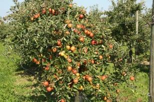 pommes du verger du Val de Baule en Val de Loire