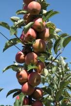 pommes val de Loire à Baule