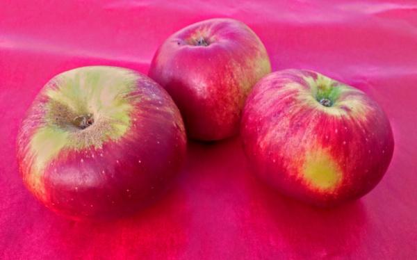 pommes châtaignier du Loiret du verger collection du val de Baule