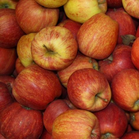 pomme Royal Gala, fruit du Val de Loire dans le verger collection du Val de Baule