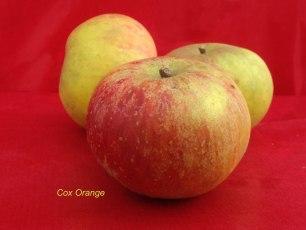 pomme verger collection du Val de Baule,en val de Loire, la variété cox orange