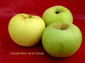pomme-val-de-Loire-Canada-blanc-de-la-creuse pomme du verger collection du Val de Baule
