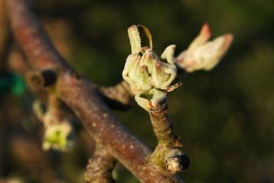 pommes-val-de-loire-verger-collection-bourgeon-1