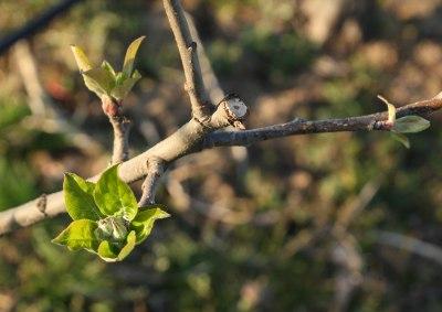 pommes-val-de-loire-verger-collection-bourgeon-5