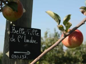 Pommes val de loire Belle fille de l'Indre, au verger collection en Val de Loire dans le Loiret, près de Beaugency et Meung sur Loire.