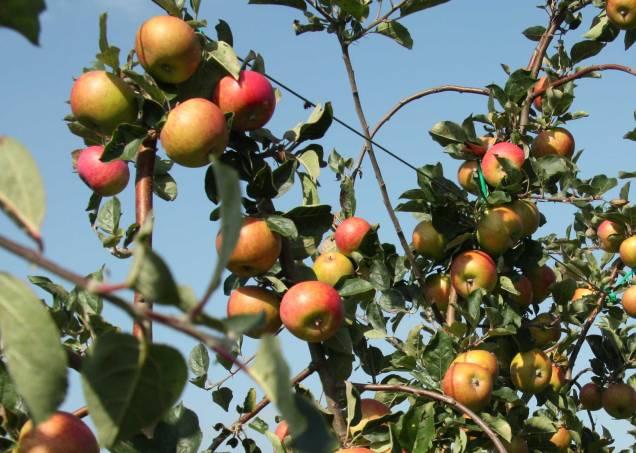 Pommes-val-de-loire-Belle-fille-de-l-Indre-2