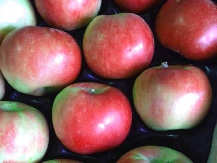 pomme Akane dans le verger collection du val de Baule dans le Loiret en Région Centre Val de Loire