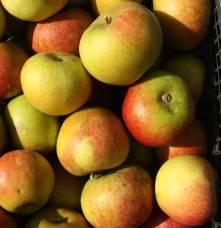 Pomme Cox Orange