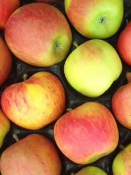 pomme Reine des Reinettes en Val de Loire, dans le verger collection