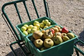 pommes-anciennes-en-val-de-loire-vente-cueillette-