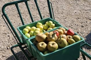 pommes anciennes en val de loire : la vente cueillette