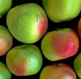Pomme du Val de Loire, la Transparente de Croncels dans le verger collection du Val de Baule