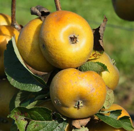 Pomme du Val de Loire, la Patte de Loup du verger collection du Val de Baule dans le Loiret