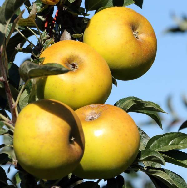 pomme reinette clochard du val de loire