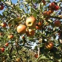Pommes Rubinette au verger du valde baule
